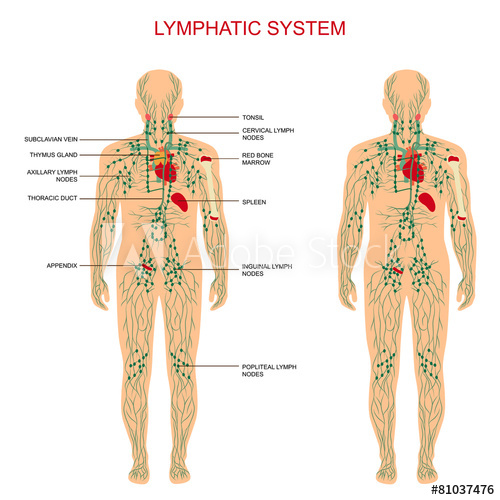 What is the lymphatic framework?